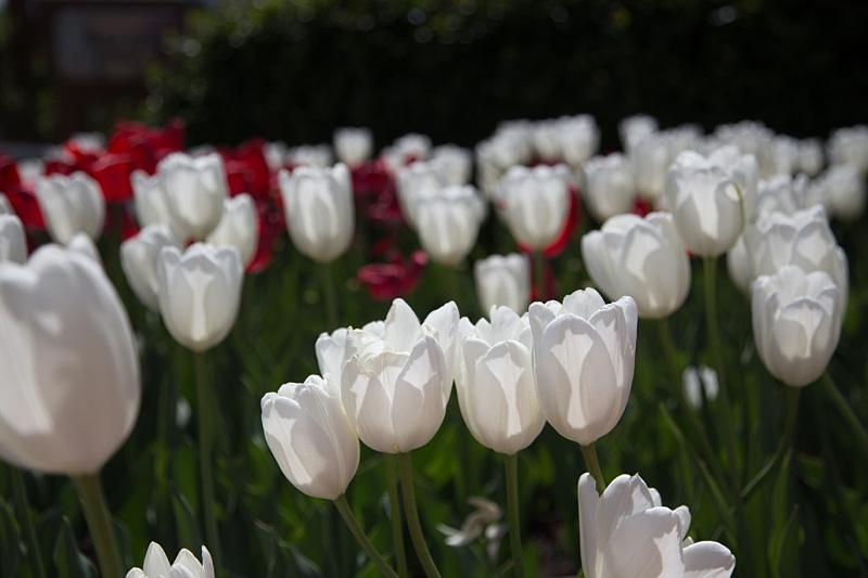 Tulips0007