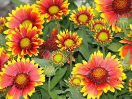 Blanket Flower / Gaillardia