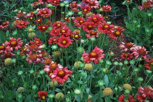 Burgendy Blanket Flower