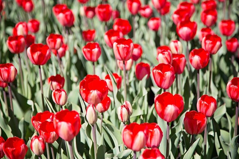 Tulips0059