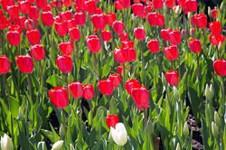 Tulips0060