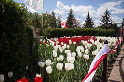 Tulips0005