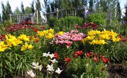 Oval Garden Lillies
