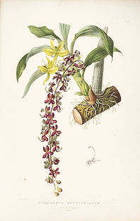 Native Orchid 4.jpg