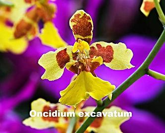 Oncidium