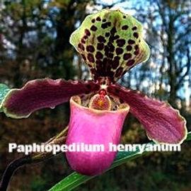Paphiopedium