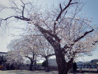 桜満開!!!