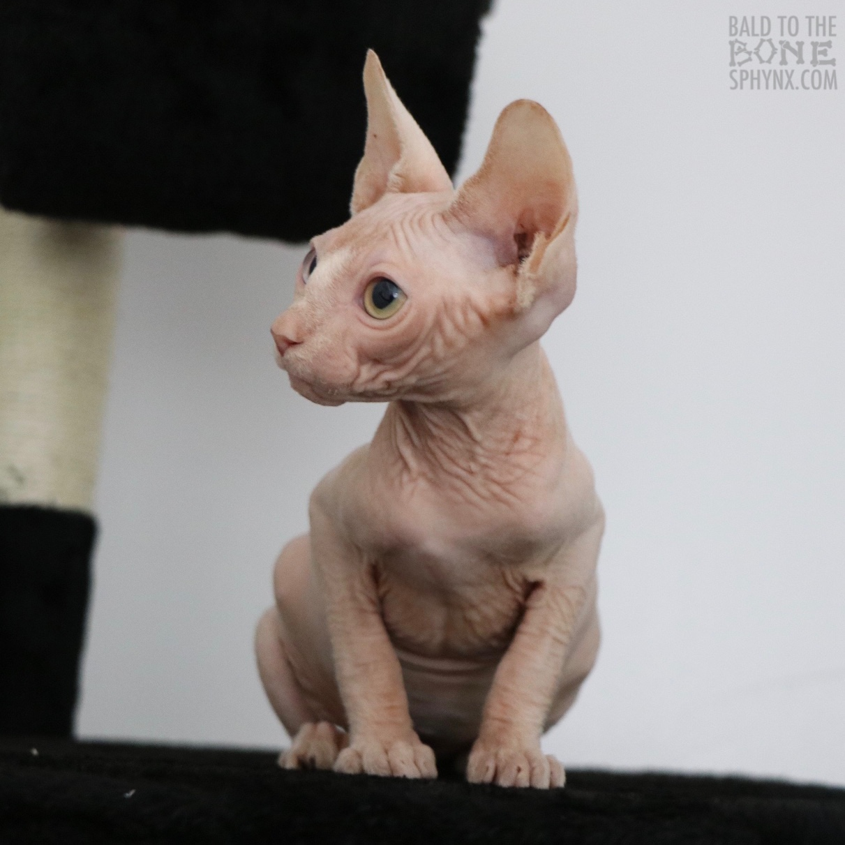 AVAILABLE KITTENS | Bald To The Bone Sphynx | Breeder of