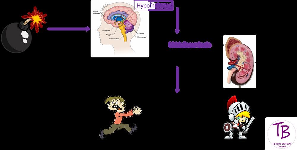 Cascade physiologique   stress    cerveau    coaching    neurosciences   
