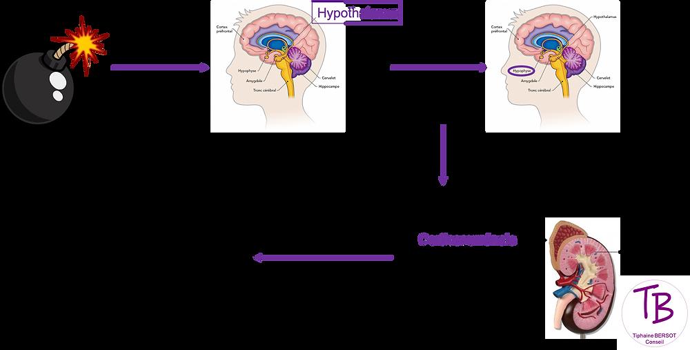 Cascade physiologique    stress    coaching    cerveau     neurosciences