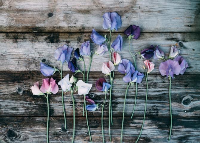 luktärterna blommar