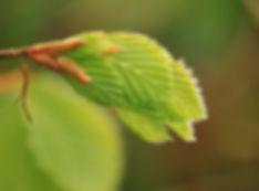 Nyudsprunget bøgeblad