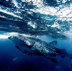 Beware! Whale Shark area!