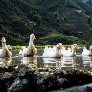 Ducks enjoying a rice field temporary pool.