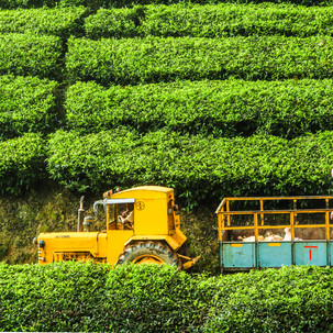 Workers mingled in the tea plantations.
