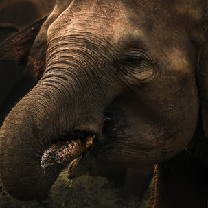 Mamma elephant in Udawalawe National Park.