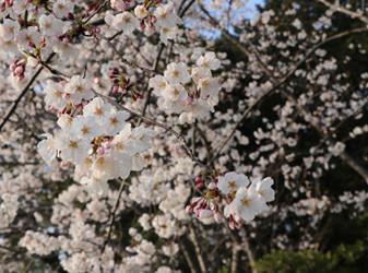 🌸駕与丁公園で桜を見ながらBBQお花見🌸