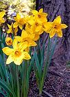 daffodils.jfif