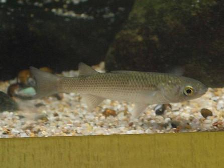 В Цимлянское водохранилище могут выпустить поедающую биологические отходы рыбку