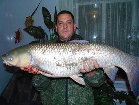 В Цимлянское водохранилище запустят сотни тысяч прожорливых рыб-камышеедов