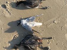 Массовая гибель уток случилась на берегу Цимлянского водохранилища