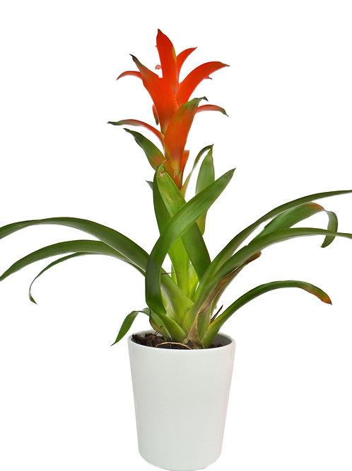 Bromélia 'Guzmania' - Com Vaso