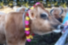 Lakshmi thecow honored with a garland of roses.