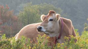 Cows bestow good fortune