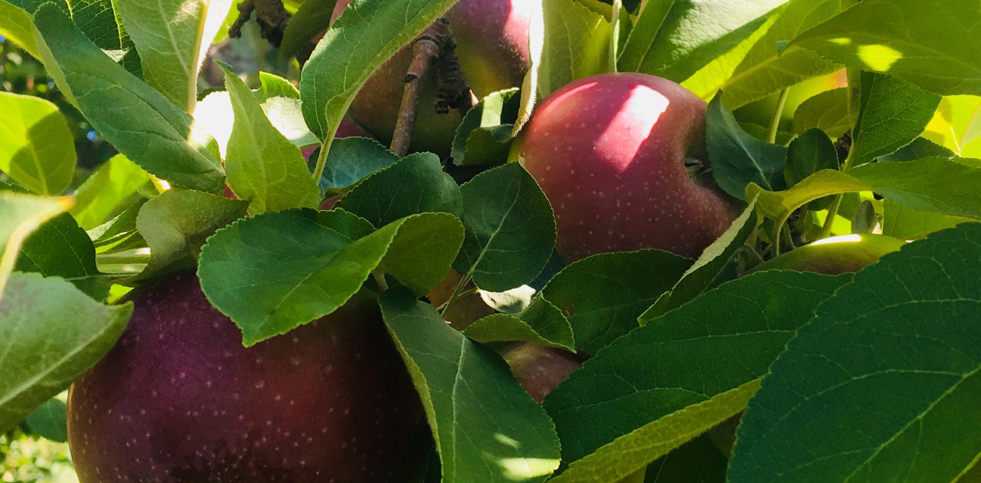 Sortie aux pommes