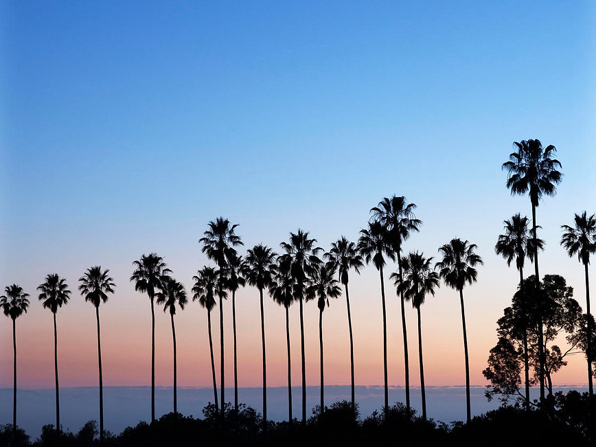 western-palm-trees-mexican-fan-palms-ely