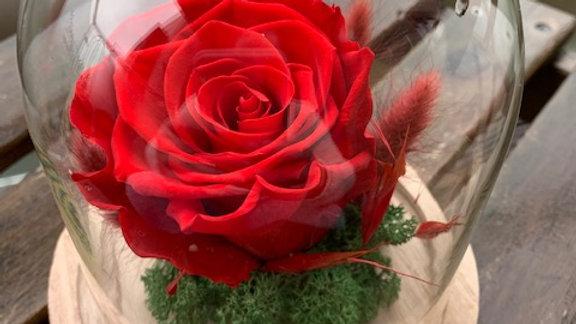 Rose under Cloche