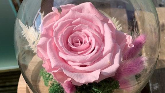 Pink Rose under Cloche