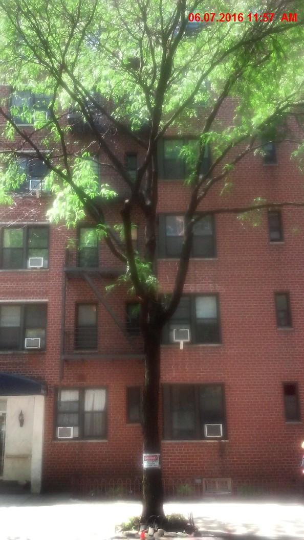 """NYC  Street Honeylocust 16"""" Caliper"""