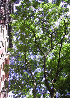 TreesNYC Street Scholar Tree