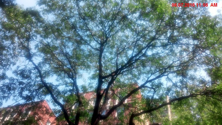 NYC Street Tree 1  Honeylocust 45' wide canopy