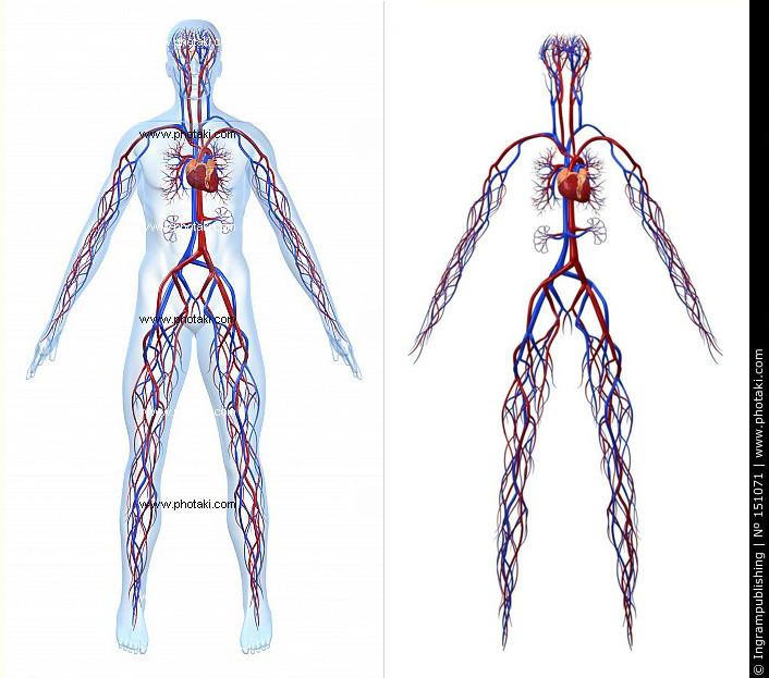 Human cardiovascular infrastructure
