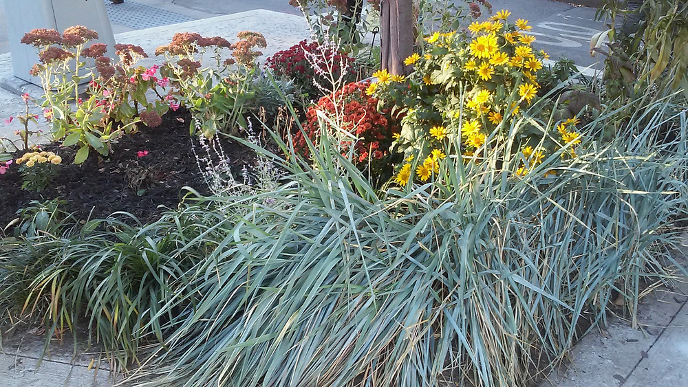 Drought Street tolerant Perennials and Grasses