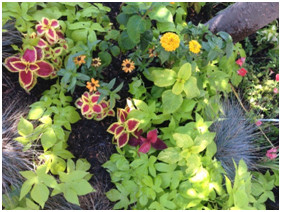 22.8 Bucket Potato Vine, Coleus, Marigolds