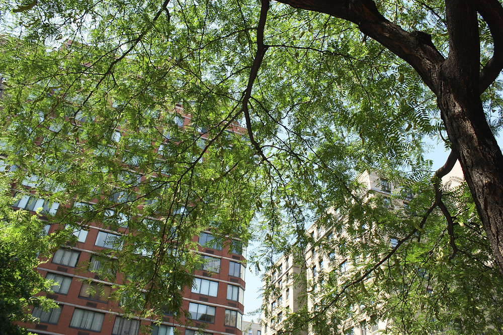 Towering NYC Honeylocust