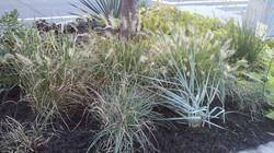 Tough perennials and Grasses