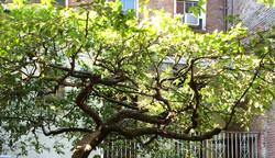 Specimen pruning Chelsea courtyard