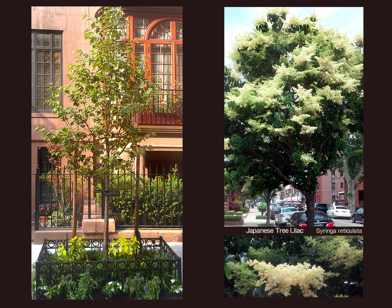 NYC Street Tree Japanese Tree Lilac