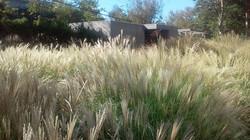 Dwarf Grasses Seaside...