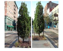 Rice Memorial Tree Context