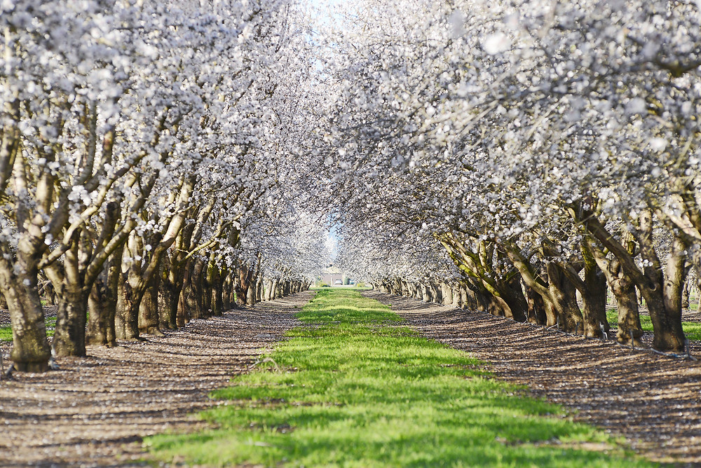 Grassy path between two rows of white flowering almond trees in Kern County