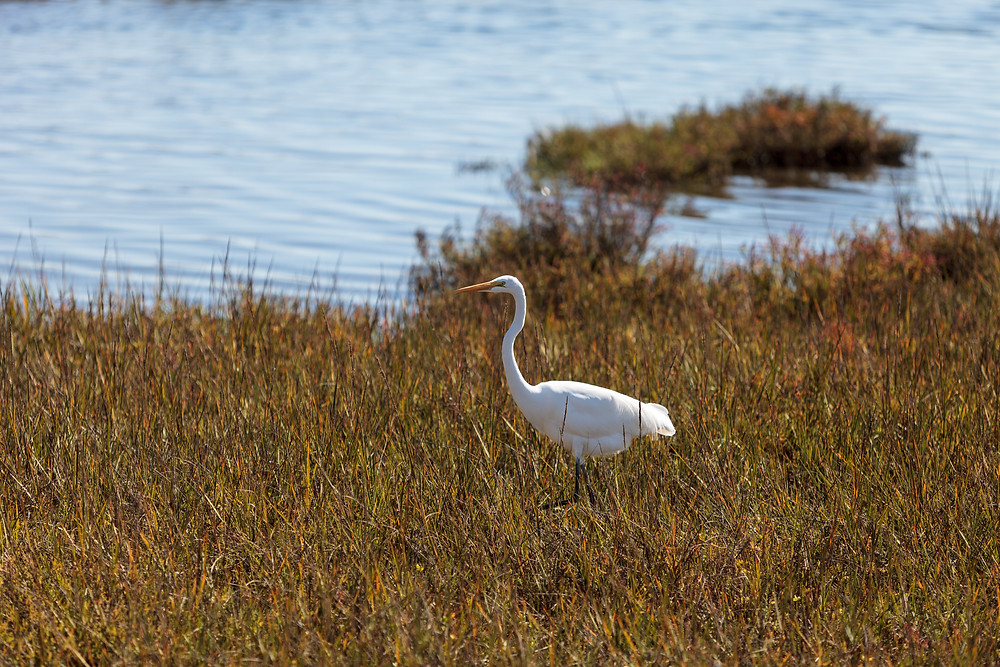 A white, long-beaked bird standing in grassy marshland next to the water of Newport Bay.