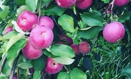 Saratoga Apple