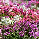 phlox-flowers-crop_full_width.jpg