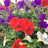 Red white and blue petunias for CC.jpg
