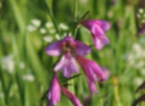 gladiolus illyricus slovenia